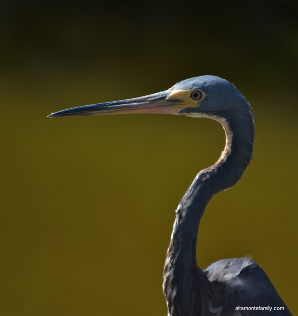 Black Point Wildlife Drive_Nikon_10_Tricolored Heron