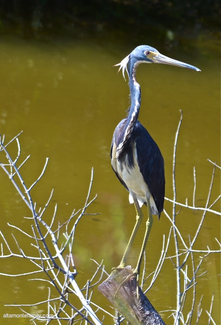 Black Point Wildlife Drive_Nikon_12_Tricolored Heron