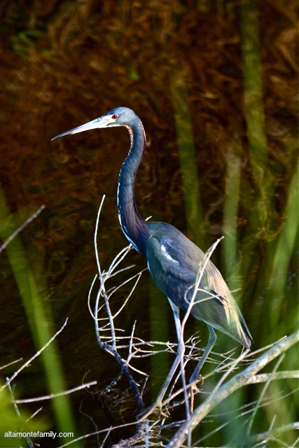 Black Point Wildlife Drive_Nikon_13_Tricolored Heron