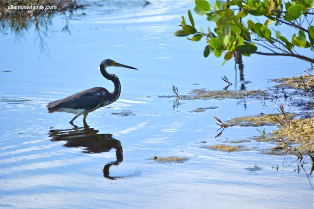 Black Point Wildlife Drive_Nikon_14_Tricolored Heron