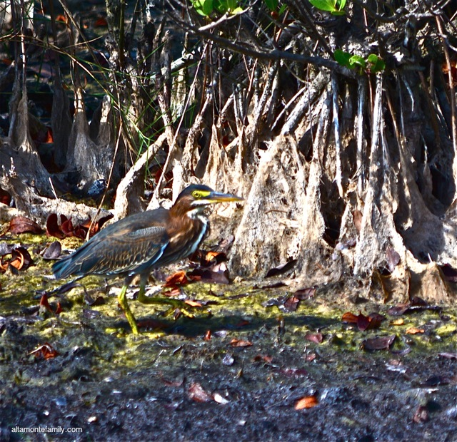 Black Point Wildlife Drive_Nikon_16_Green Heron