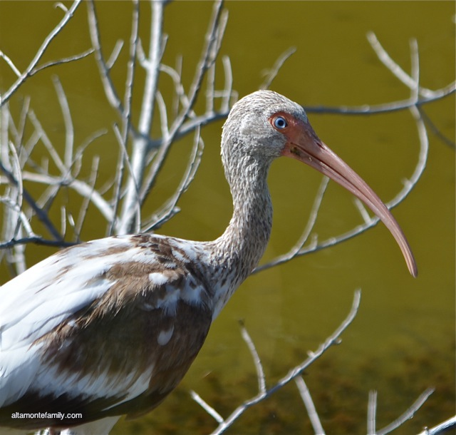 Black Point Wildlife Drive_Nikon_17_Juvenile White Ibis