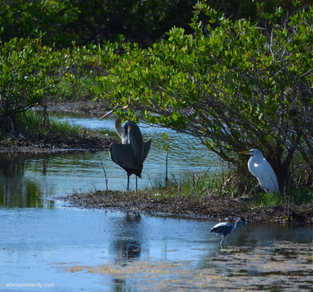 Black Point Wildlife Drive_Nikon_1_Great Blue Heron_Great Egret