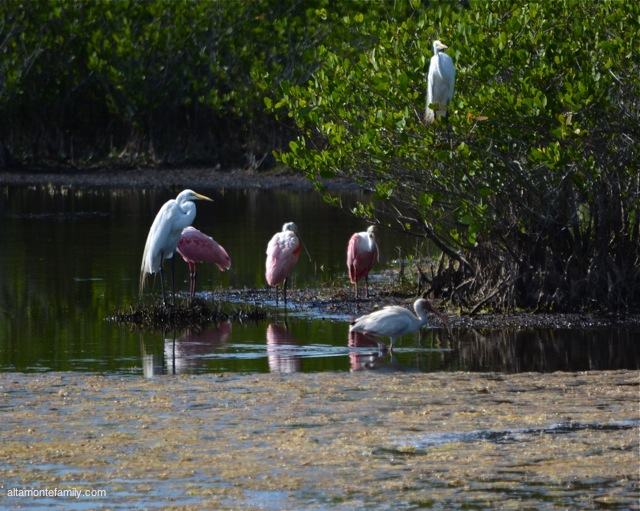 Black Point Wildlife Drive_Nikon_2_Roseate Spoonbills_Great Egret