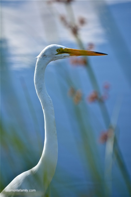 Black Point Wildlife Drive_Nikon_3_Great Egret