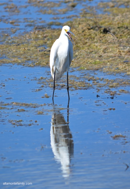 Black Point Wildlife Drive_Nikon_5_Snowy Egret