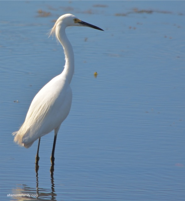 Black Point Wildlife Drive_Nikon_6_Snowy Egret