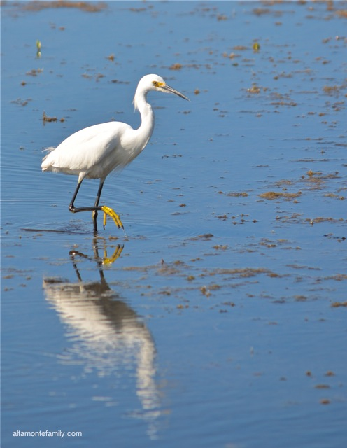 Black Point Wildlife Drive_Nikon_7_Snowy Egret