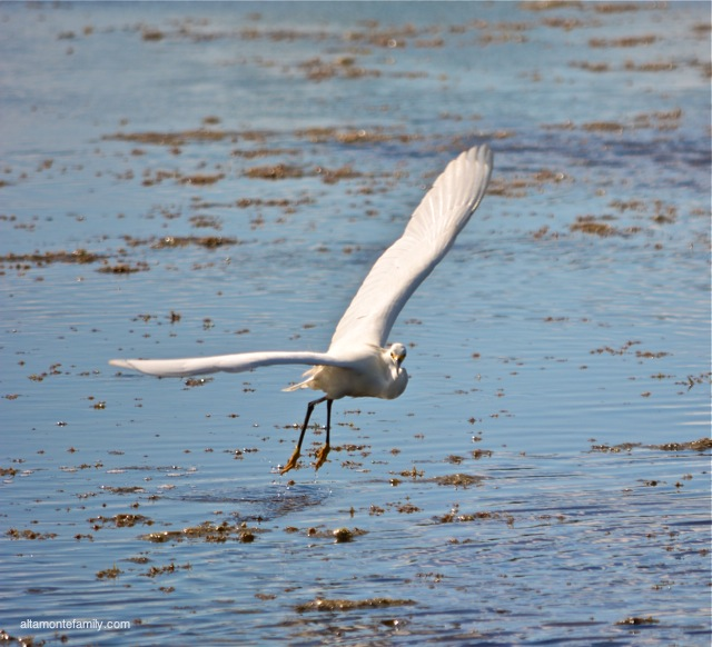 Black Point Wildlife Drive_Nikon_8_Snowy Egret