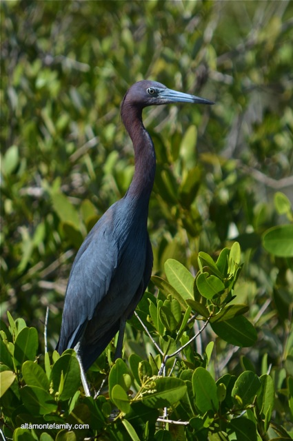 Black Point Wildlife Drive_Nikon_9_Little Blue Heron
