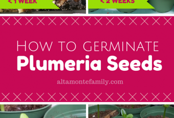 How To Germinate Plumeria Seeds
