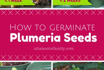 how to germinate plumeria seeds florida