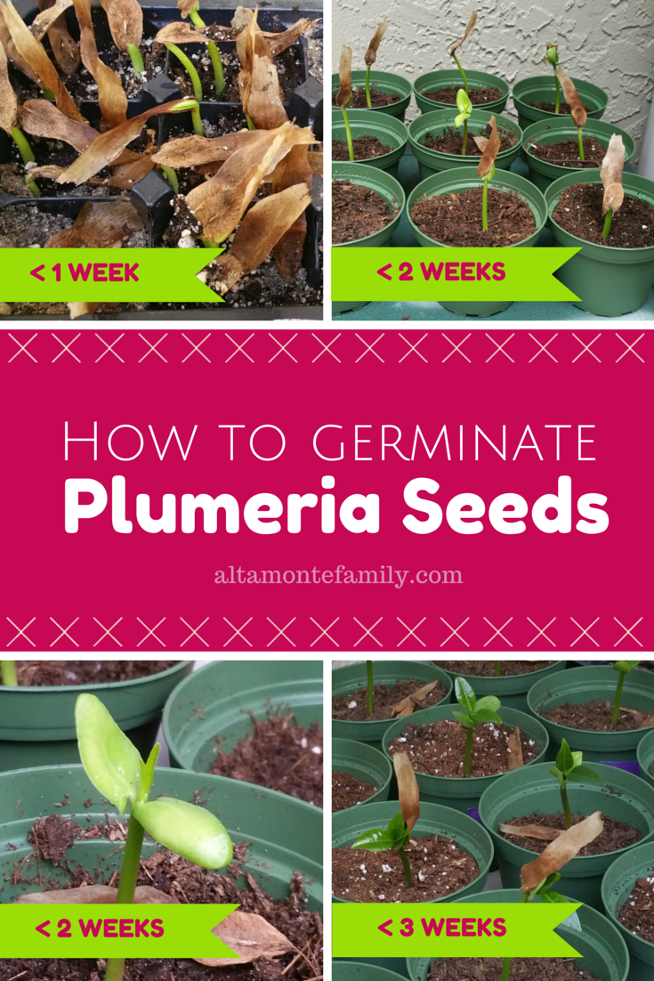 how to germinate plumeria seeds florida