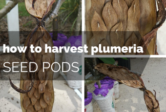 How To Harvest Plumeria Seed Pods