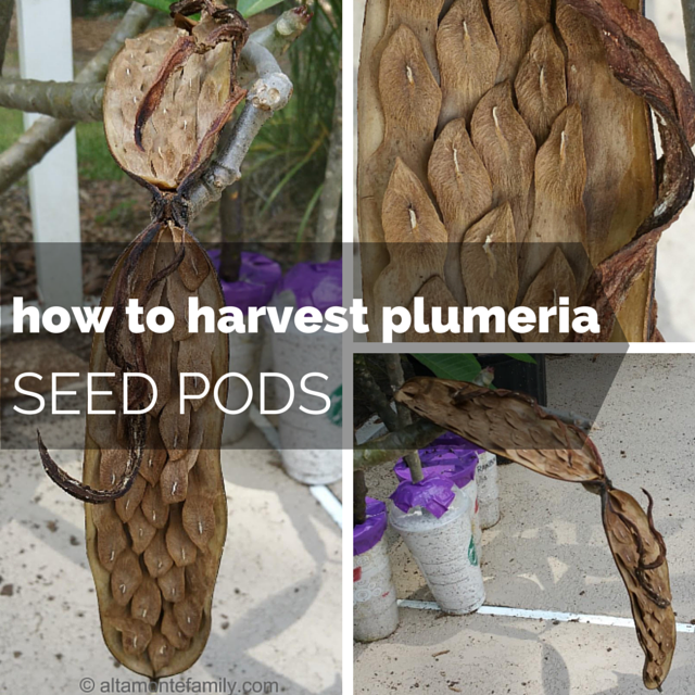 how-to-harvest-plumeria-seed-pods