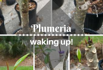 overwintering plumeria in central florida