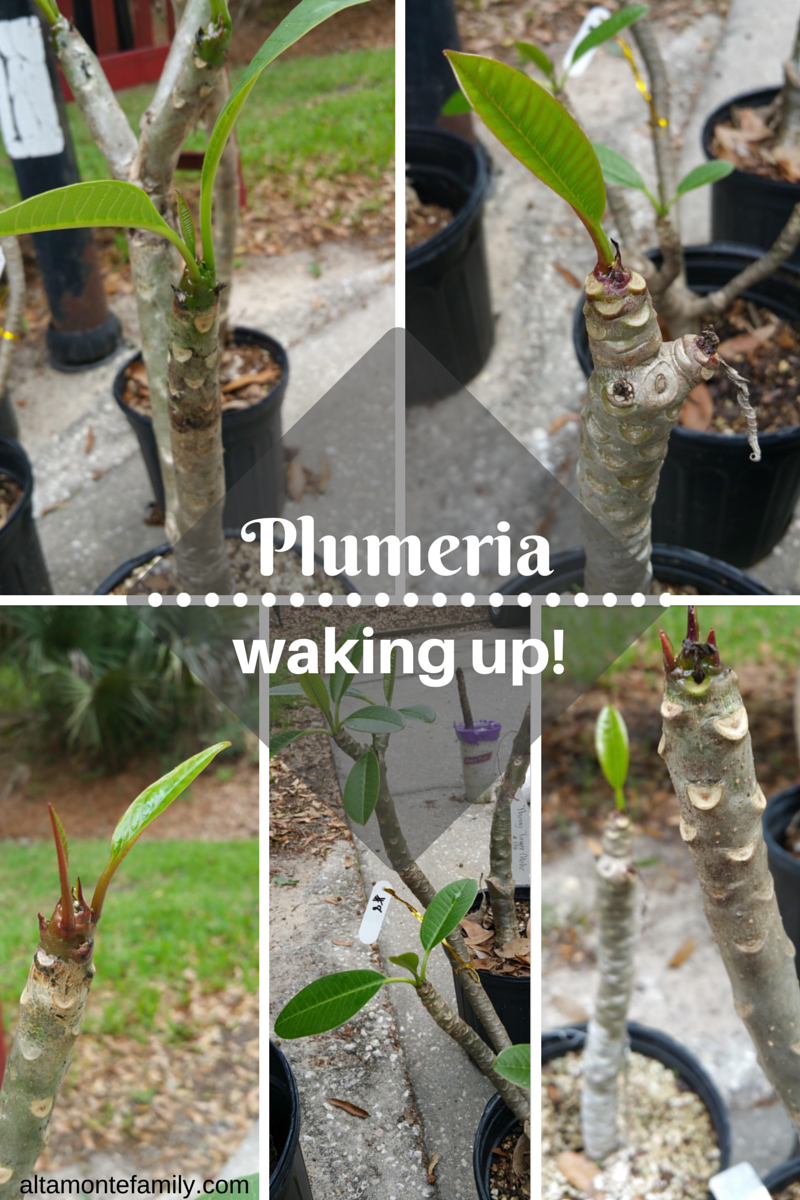 overwintering plumeria in central florida