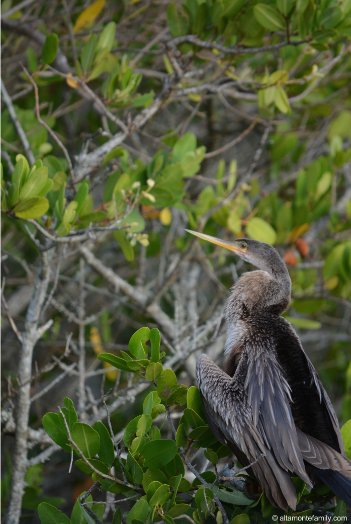 Anhinga - Black Point Wildlife Drive - Florida