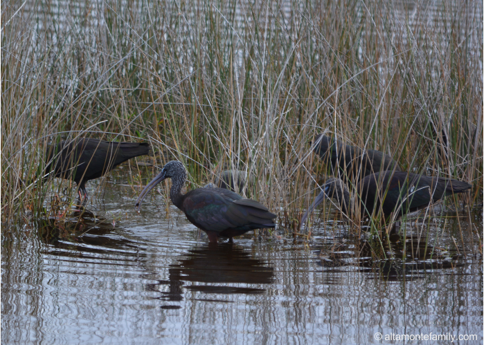 Glossy Ibis - Black Point Wildlife Drive