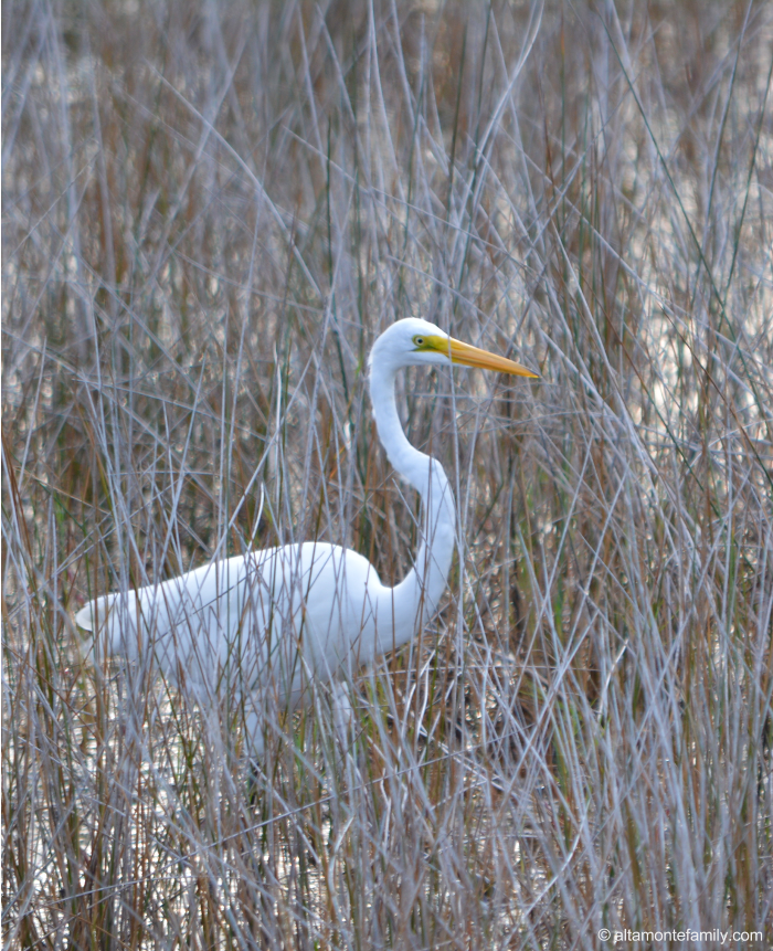 Great Egret - Black Point Wildlife Drive - Florida