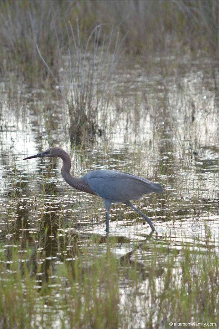 Reddish Egret - Rare Birds at Black Point Wildlife Drive - Florida