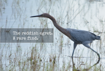 Reddish Egret Spotting: What I Learned