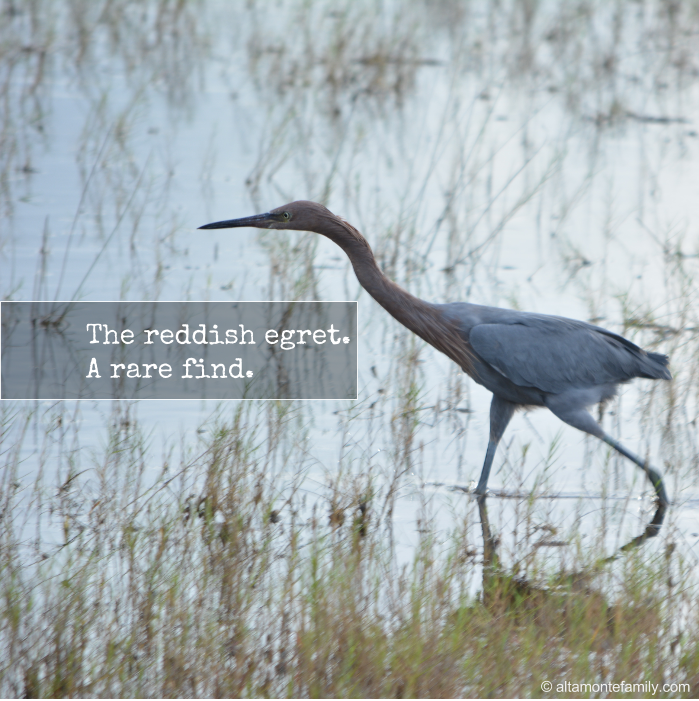 Reddish Egret Spotting in Florida