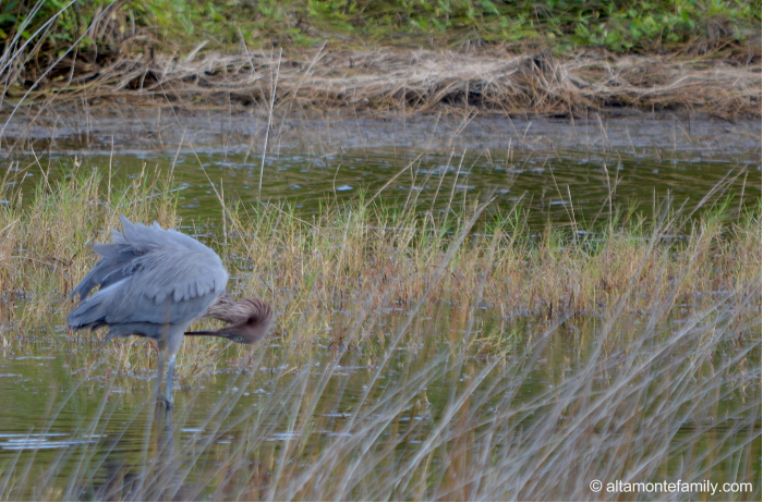 Reddish Egret - Black Point Wildlife Drive - Florida