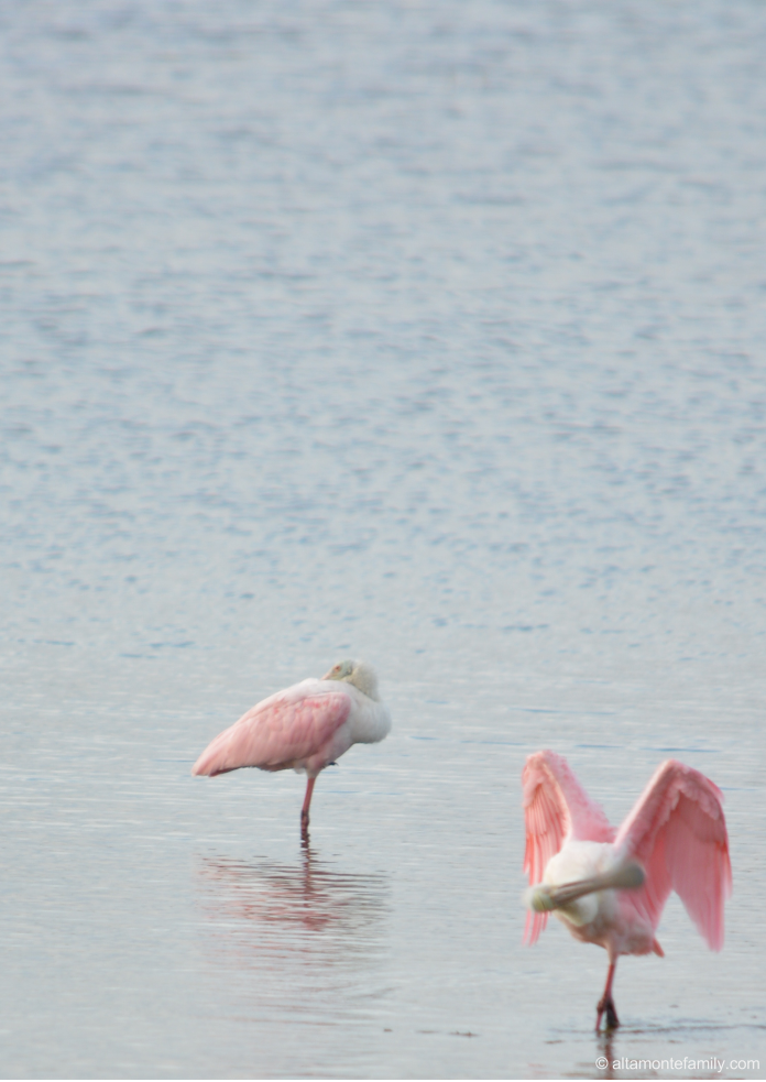 Roseate Spoonbills - Black Point Wildlife Drive - Florida