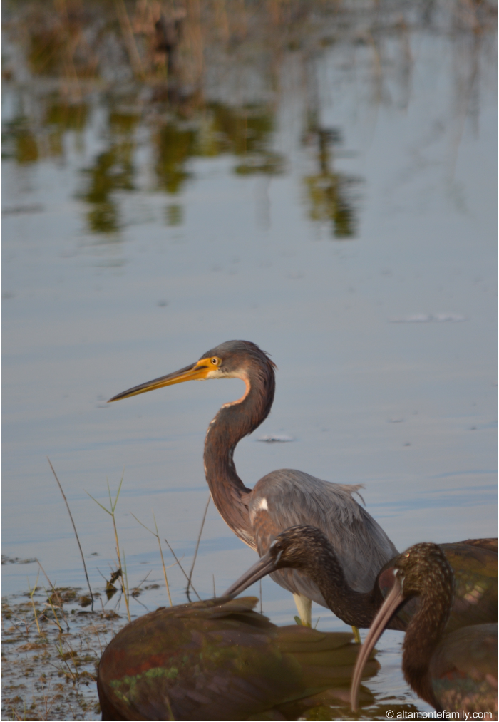 Tricolored Heron with Glossy Ibis - Black Point Wildlife Drive - Florida