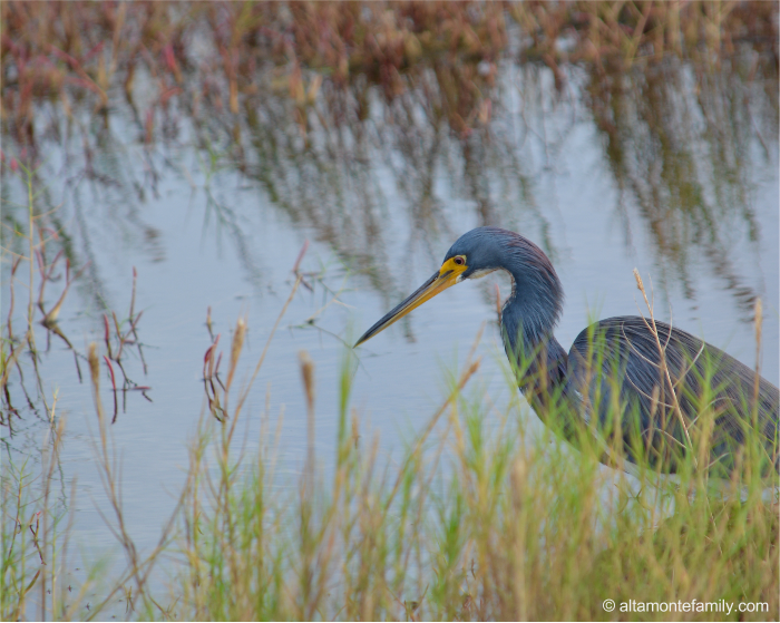 Tricolored Heron - Black Point Wildlife Drive - Florida