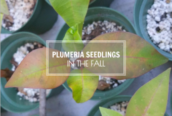 Plumeria Seedlings In The Fall - The Colors Are Changing