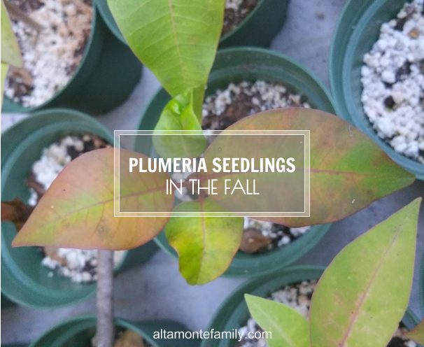 plumeria-leaves-falling-going-dormant-central-florida