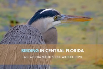 Lake Apopka North Shore Wildlife Drive: Birding In Central Florida