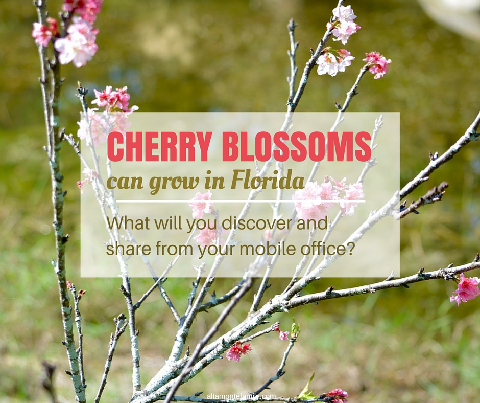 Cherry Blossoms Can Grow in Florida
