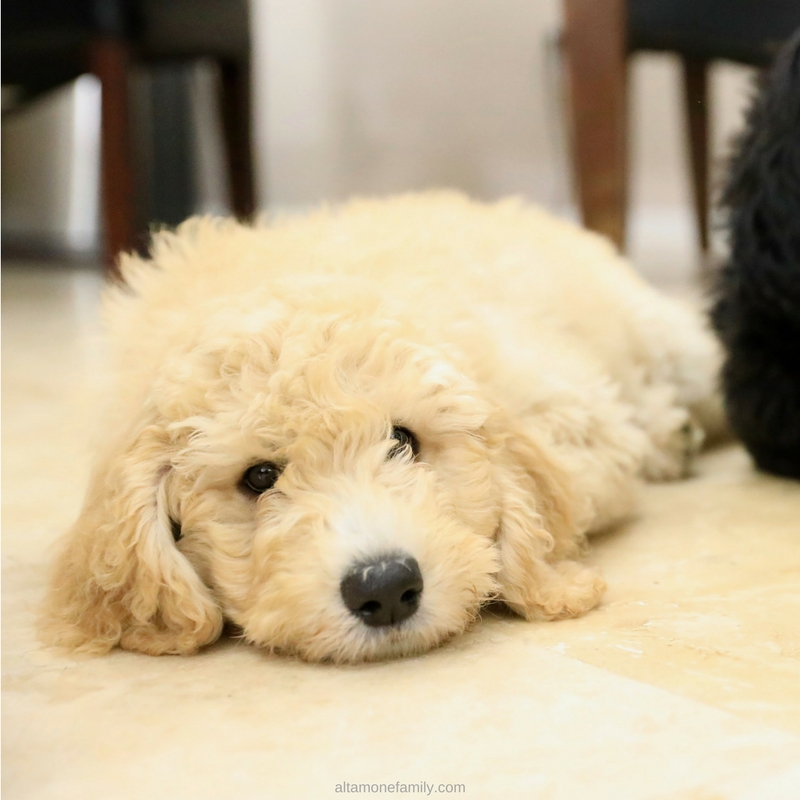 F1BB Goldendoodle Puppies at 13 weeks - Benefits of Dog Ownership