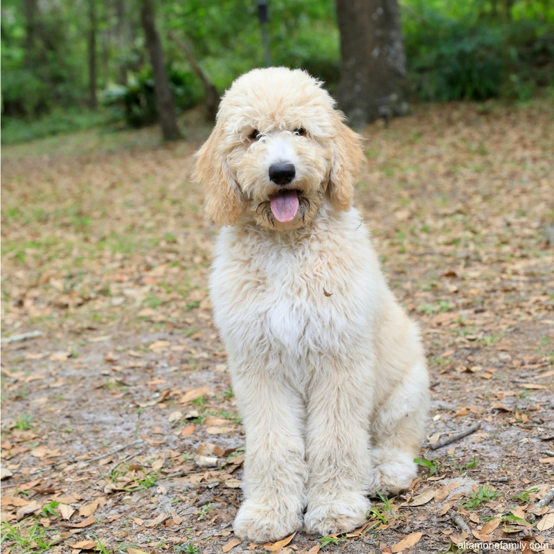benefits-dog-ownership-improved-social-life-f1bb-goldendoodle-puppies