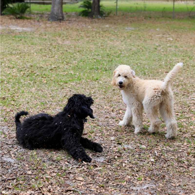 F1BB Goldendoodle Puppies Play Time - 15 weeks old - Benefits Of Dog Ownership