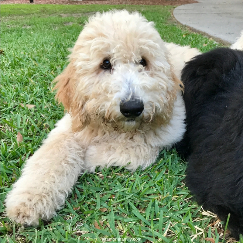 #DoodleDozen - Why So Serious? [Standard Goldendoodle Puppy at 19 Weeks]