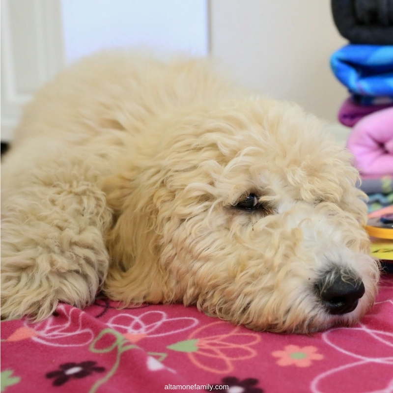 F1bb Cream Goldendoodle - 4 months old #DoodleDozen