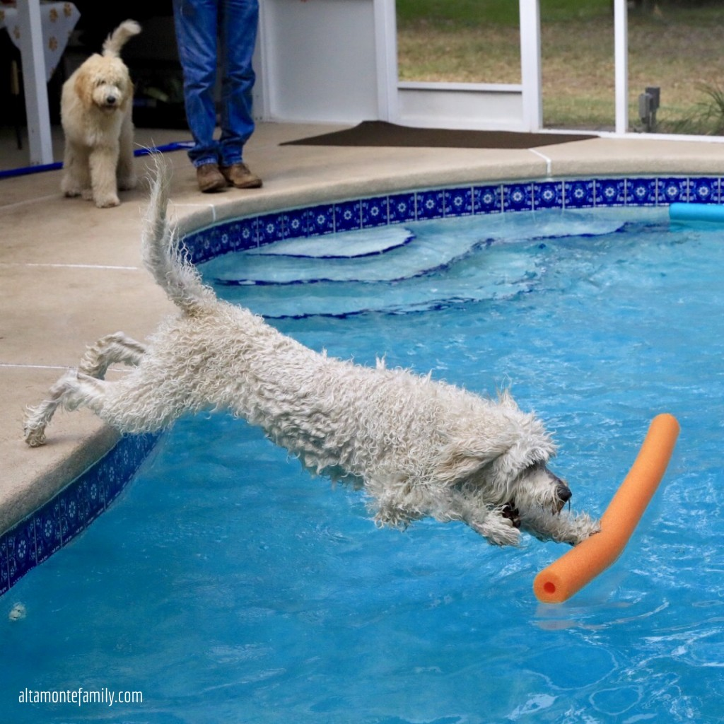 Doodle dog jumping in the swimming pool to fetch pool noodle