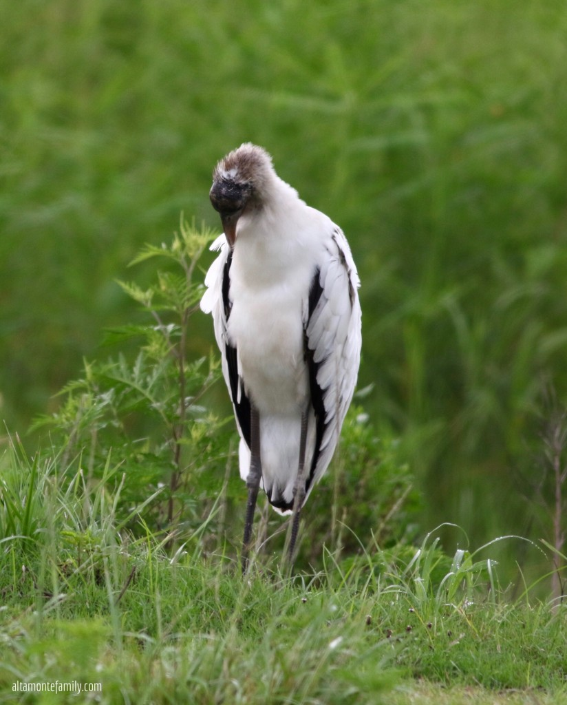 Wood Stork - Birding in Lake Apopka North Shore Wildlife Drive - Florida
