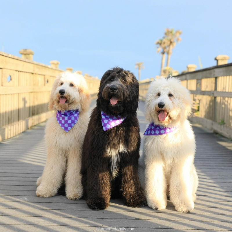 Labradoodle Puppies at 7 Months Old